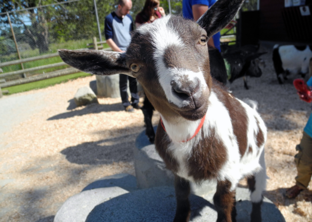 Close up of rrown and white baby goat