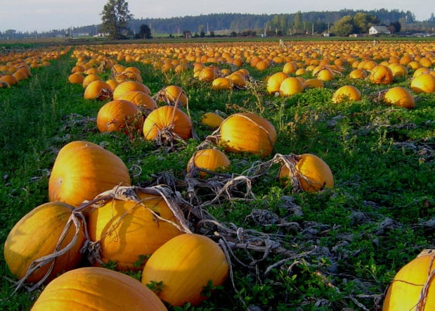 Filed of Pumpkins