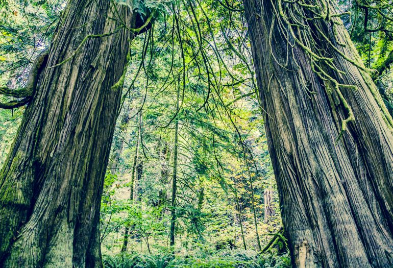 large trees in Goldstream Provincial Park